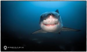 Smile!! - This cute sub 5m female Great White has the per... by Sam Cahir 
